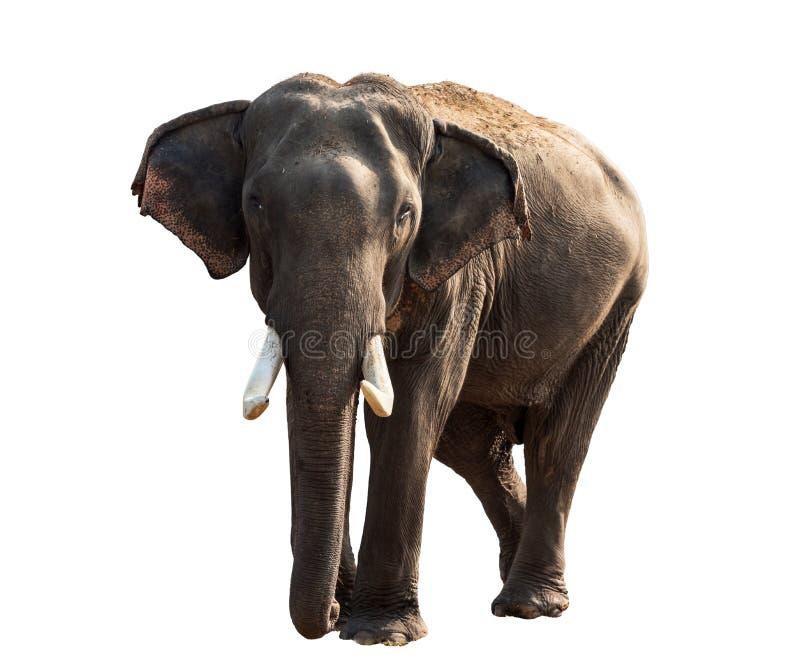 大象查出的白色 免版税库存照片