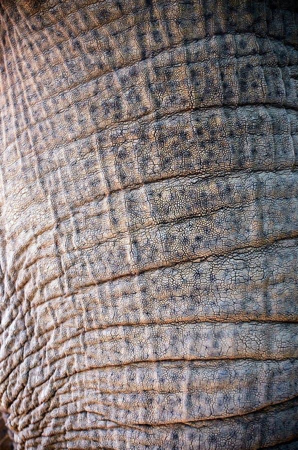 大象树干与粗砺的皮肤的 免版税库存图片