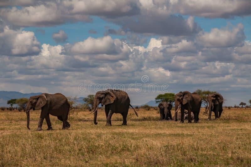 大象步行牧群在savana的在塔兰吉雷国家公园 库存图片