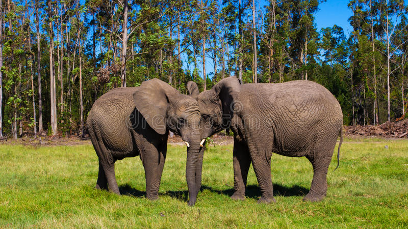 大象母亲和女儿 免版税库存图片