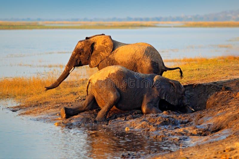 大象泥泞的使用的水 喝在waterhole的非洲大象举他们的树干, Chobe国家公园,博茨瓦纳, Af 库存图片