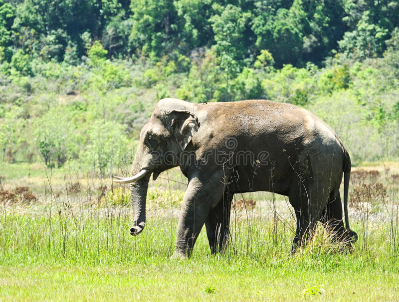 大象泰国 免版税库存图片