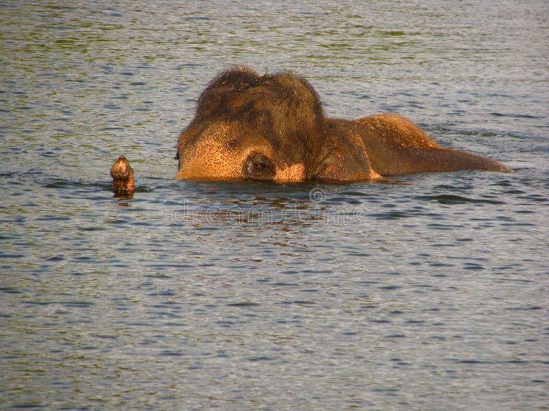 大象游泳在河 免版税库存照片