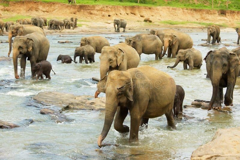 大象牧群与婴孩的在Pinnawala,斯里兰卡穿过河 免版税库存照片