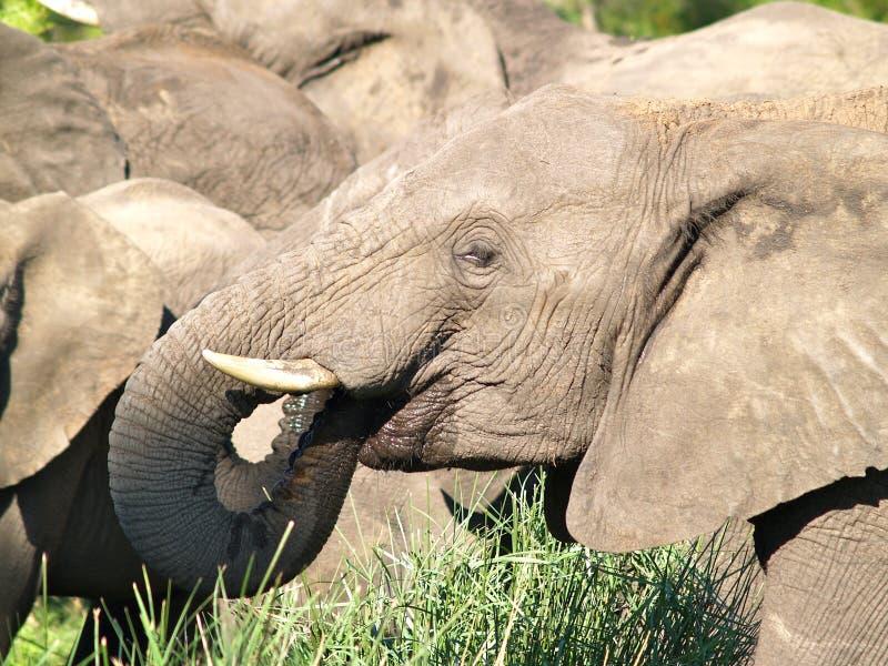 大象牧群喝 免版税图库摄影