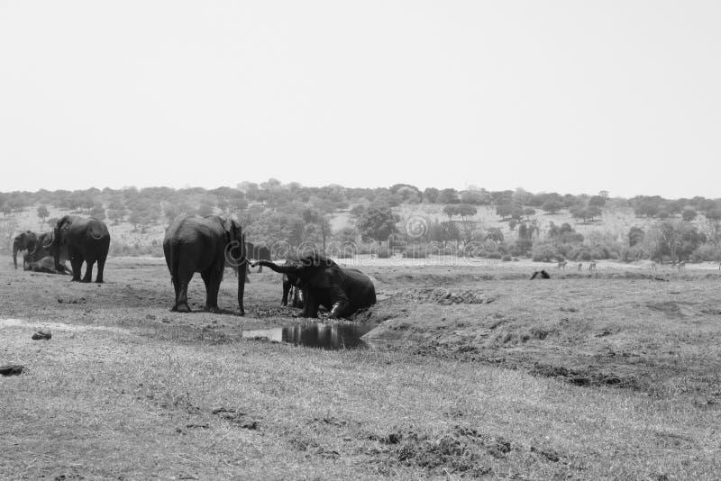 大象牧群在乔贝国家公园,博茨瓦纳 库存图片