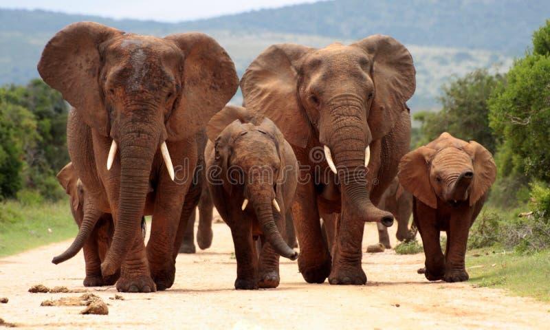 大象牧群在南非 免版税库存照片