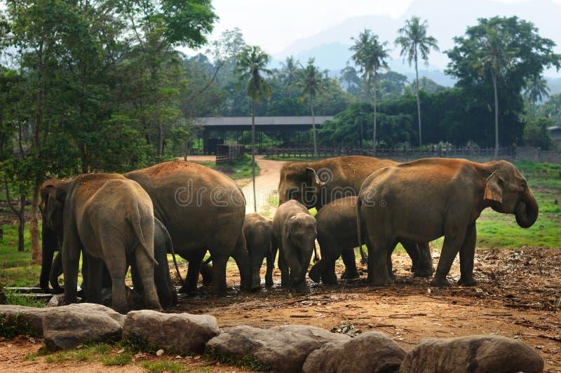 大象牧群在斯里兰卡的 免版税图库摄影