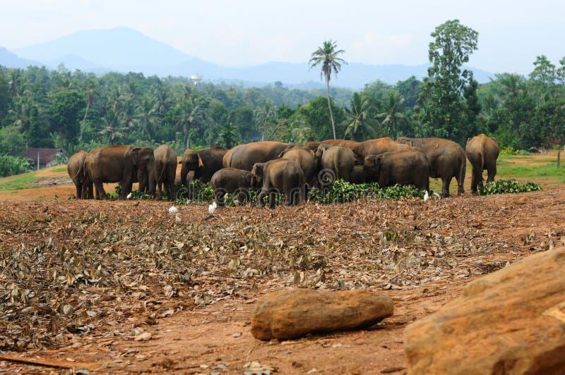 大象牧群在斯里兰卡的 库存照片