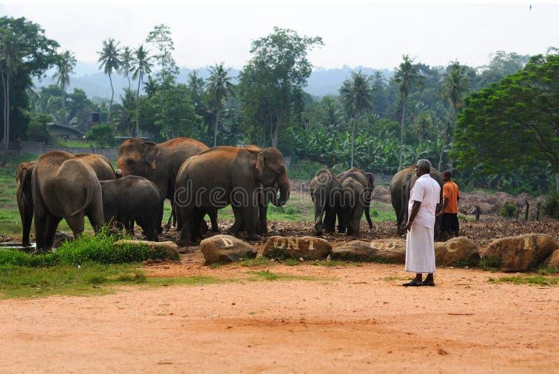 大象牧群在斯里兰卡的 免版税库存照片