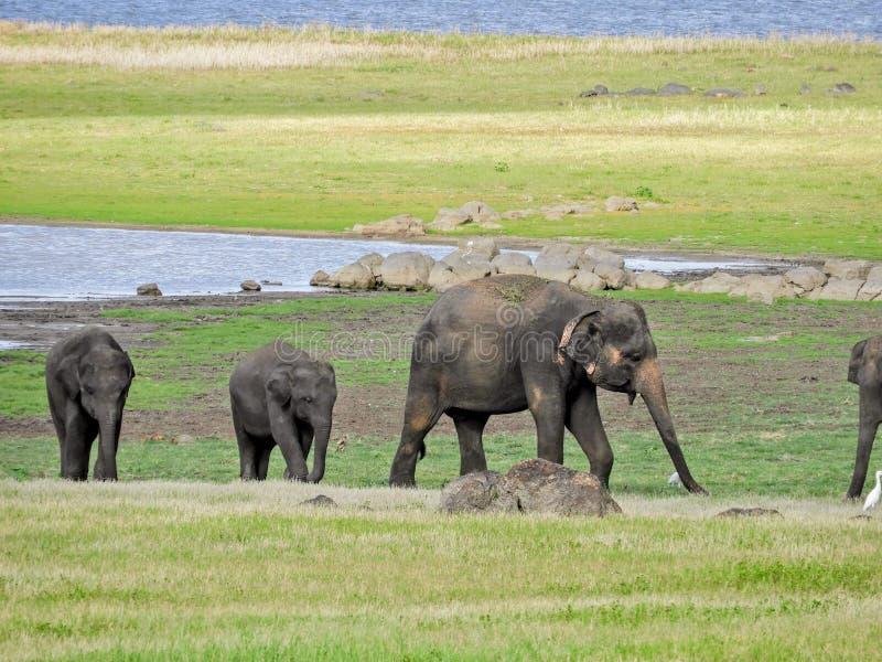 大象牧群在斯里兰卡 免版税库存图片