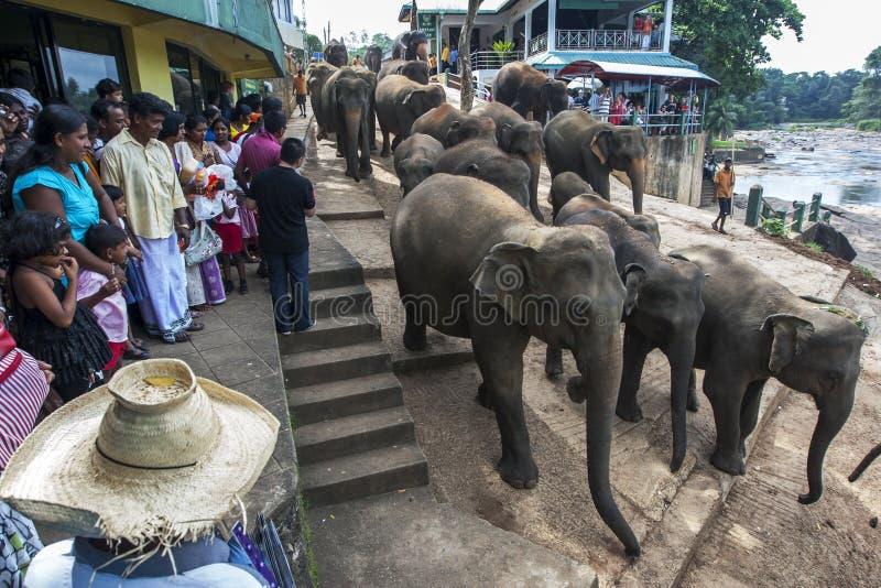 大象牧群从Pinnawela大象孤儿院(Pinnewala)的在斯里兰卡 免版税库存图片