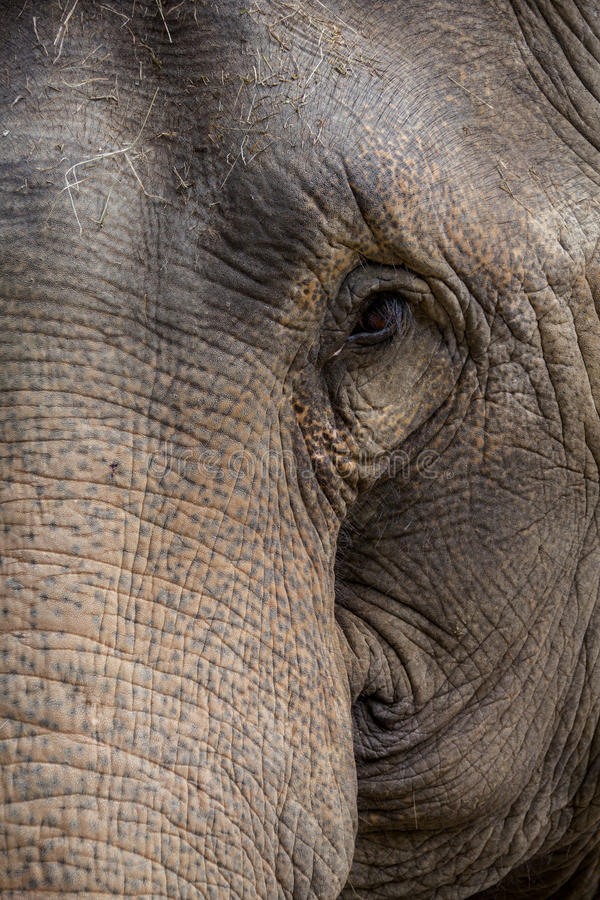 大象的半面孔 库存图片