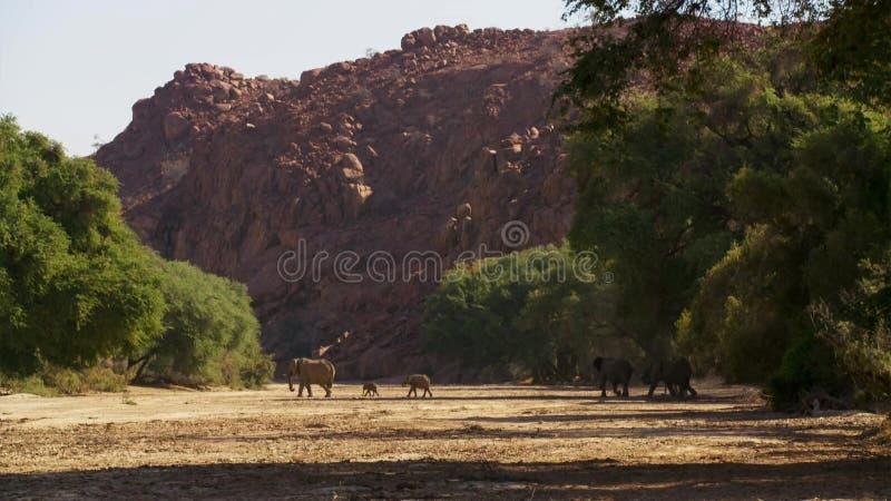 大象的迁移 大象牧群 在非洲大草原的晚上 免版税库存照片