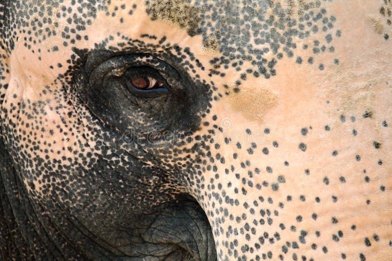 大象眼睛 免版税图库摄影