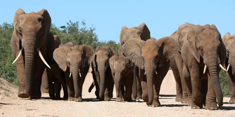大象系列牧群 库存照片