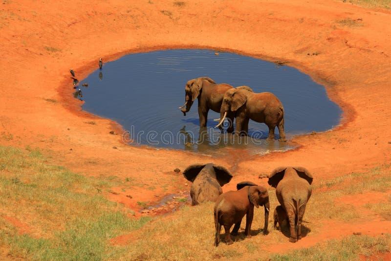 大象红色waterhole 图库摄影