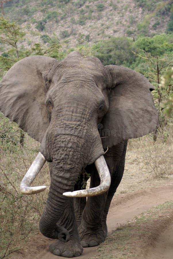 大象肯尼亚人 库存照片