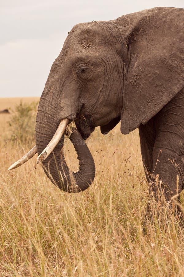 大象肯尼亚妈咪 图库摄影