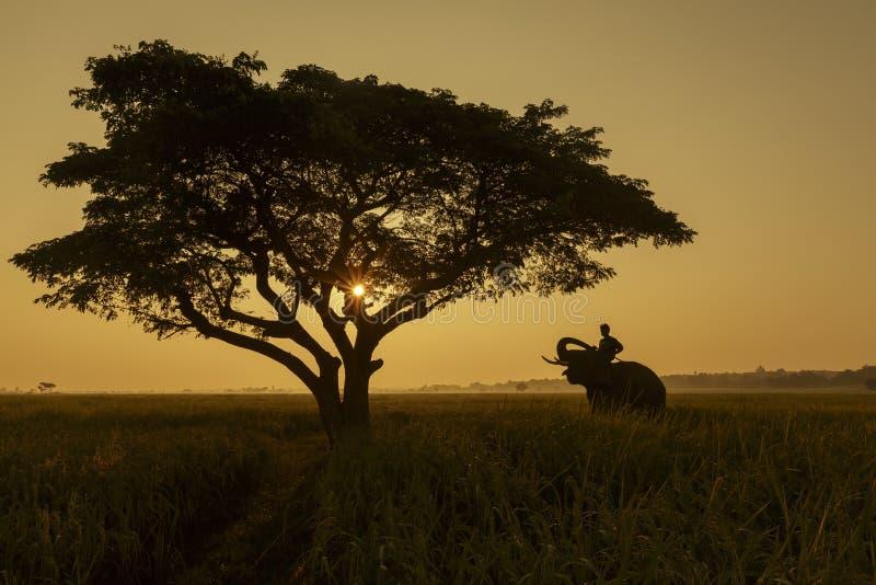 大象训练在日落期间的泰国现出轮廓的 免版税库存图片