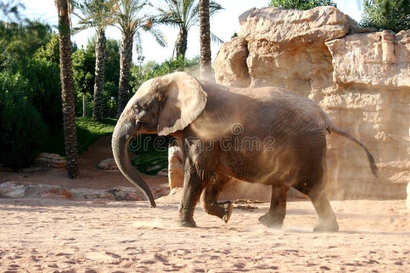 大象运行中 免版税库存照片