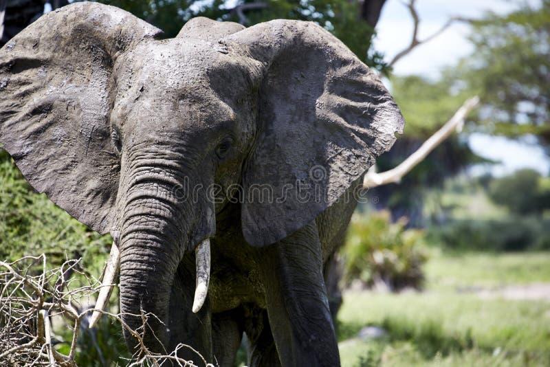 大象进攻画象野生生物非洲 库存图片