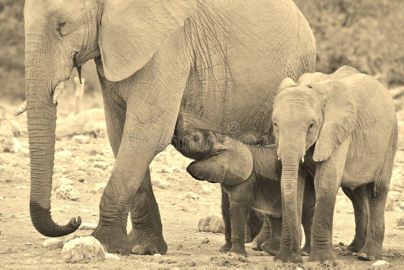 大象雄伟-非洲野生生物背景-在所有形状和大小的生活 库存照片