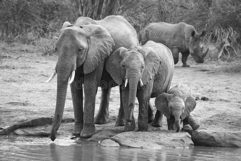大象饮用水繁殖群在一个小池塘的 免版税图库摄影