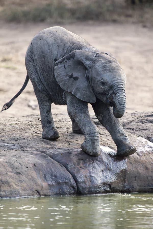 大象饮用水繁殖群在一个小池塘的 库存照片