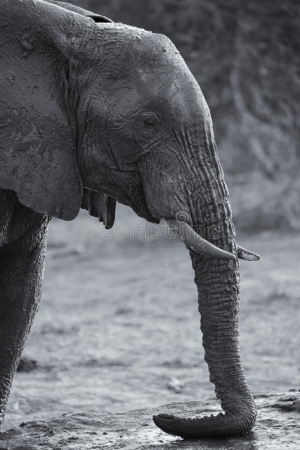 大象饮用水繁殖群在一个小池塘的 库存图片
