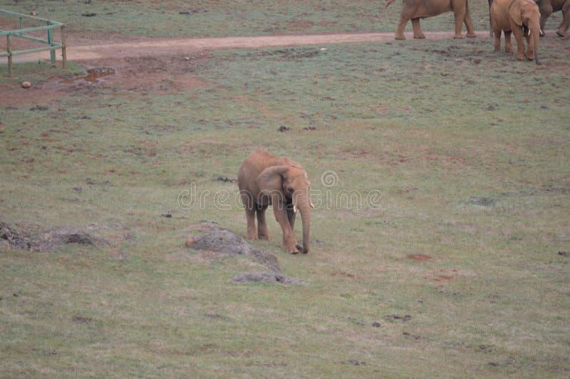 大象饲养的画象在Cabarceno老矿自然公园铁提取的 2013?8?25? Cabarceno, 图库摄影