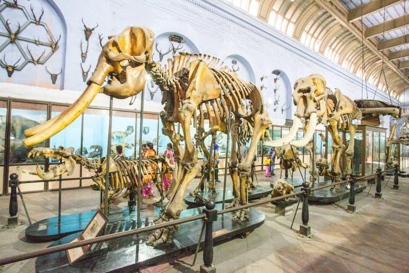 大象骨骼在博物馆 库存照片