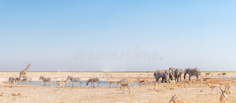 大象,长颈鹿, Burchells斑马,跳羚,蓝色角马 免版税库存照片