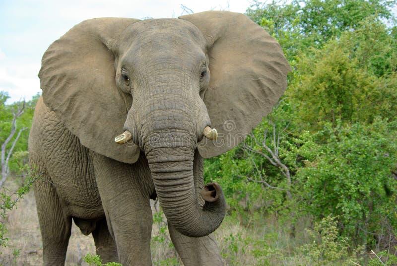 大象kruger 免版税库存照片