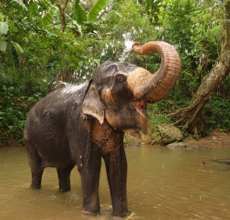 大象lanka sri 免版税图库摄影
