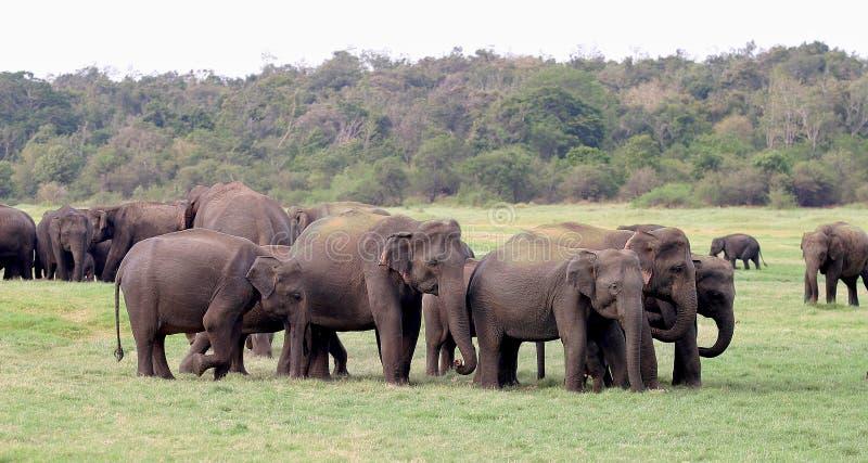 大象lankan sri 免版税图库摄影