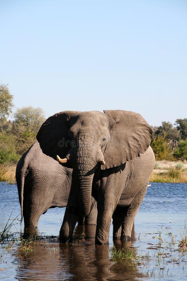 大象waterhole 库存照片