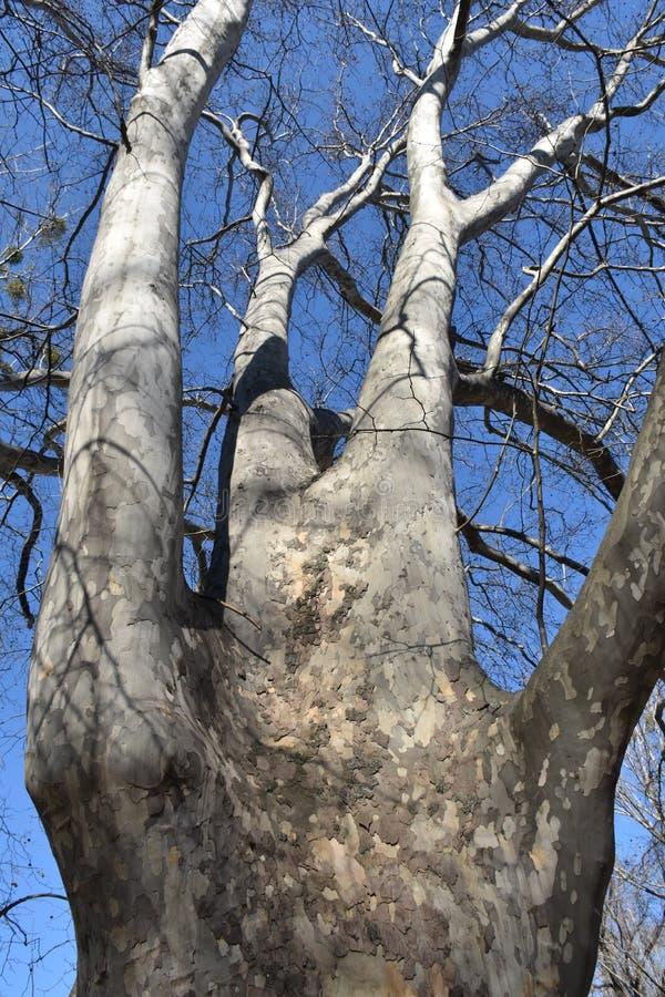 大赤裸树在树木园 库存图片