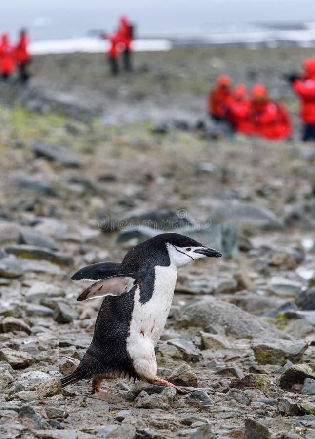 大踏步走在半月岛,南极洲,红色外套的游人的岩石企鹅高速公路下的确信的Chinstrap企鹅在backgrou 免版税库存图片