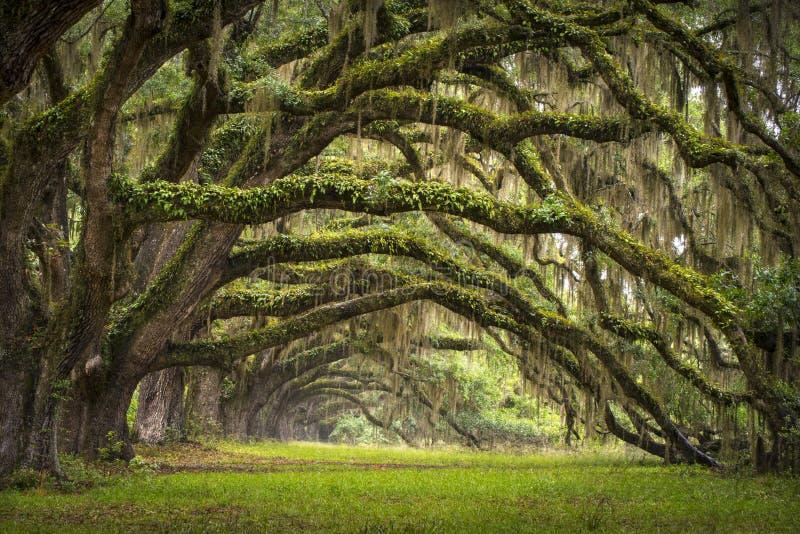 大道查尔斯顿小橡树橡木种植园sc结构树 图库摄影