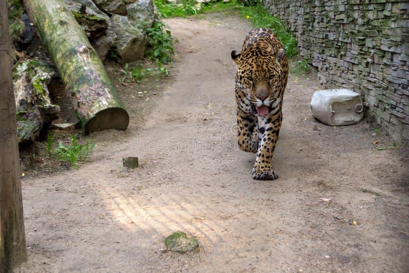 大邪恶的孟加拉老虎走动 免版税库存图片