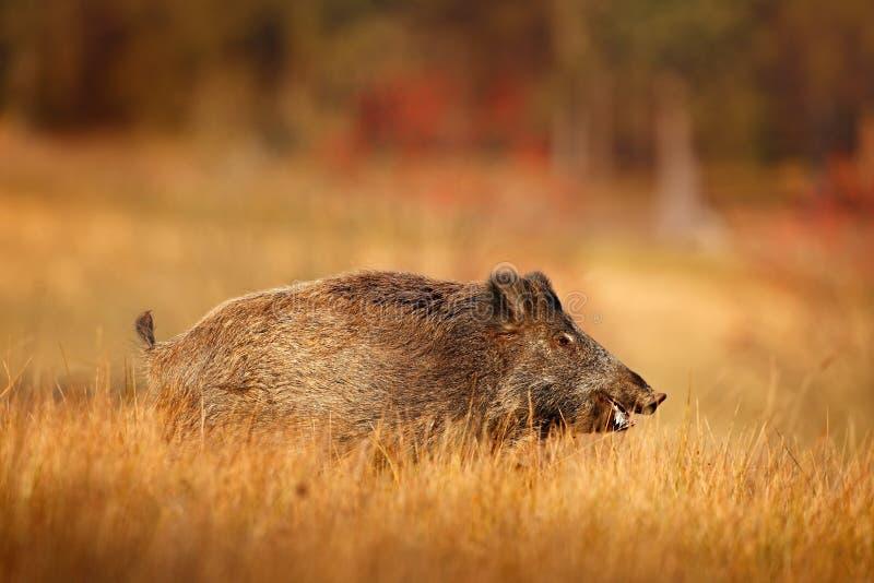 大野公猪, SU scrofa,跑在草草甸,红色秋天森林在背景,德国中 免版税图库摄影