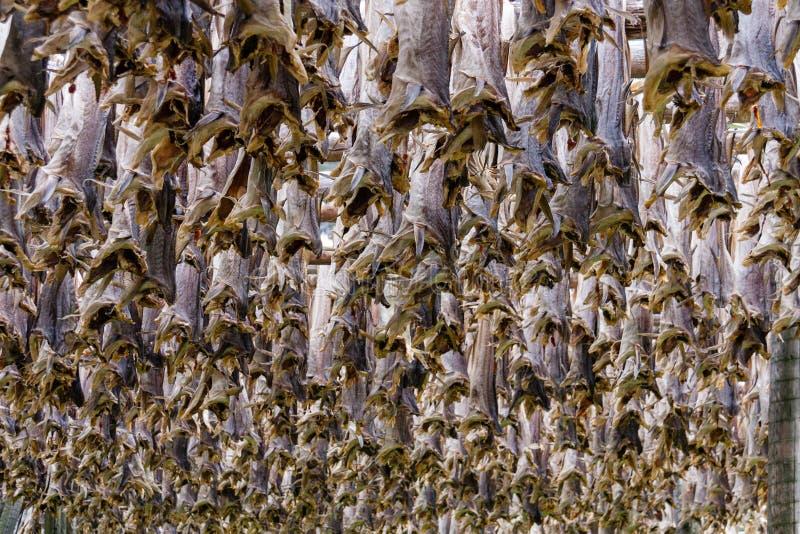 大量干鳕鱼在Lofoten海岛,挪威 库存图片