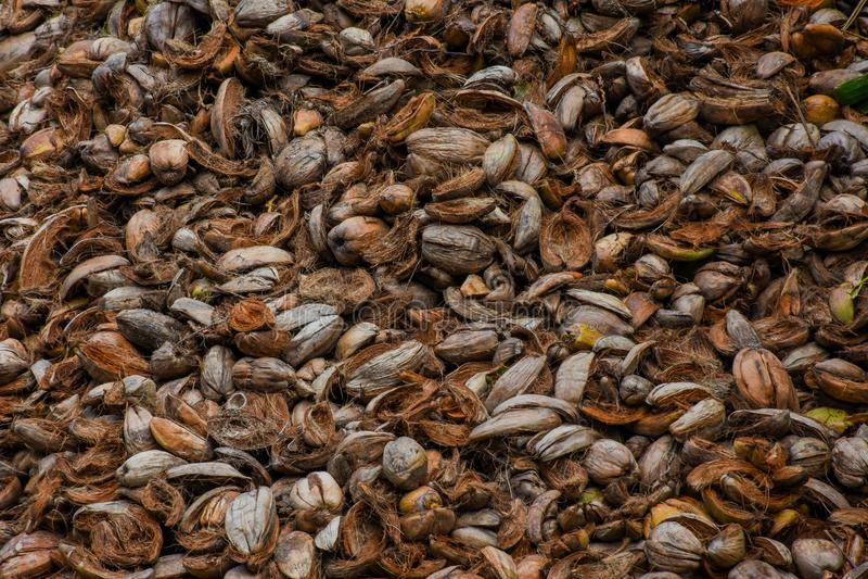 大量老棕色椰子` s剥皮 库存图片