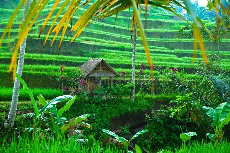大阳台在巴厘岛的米领域 免版税库存照片