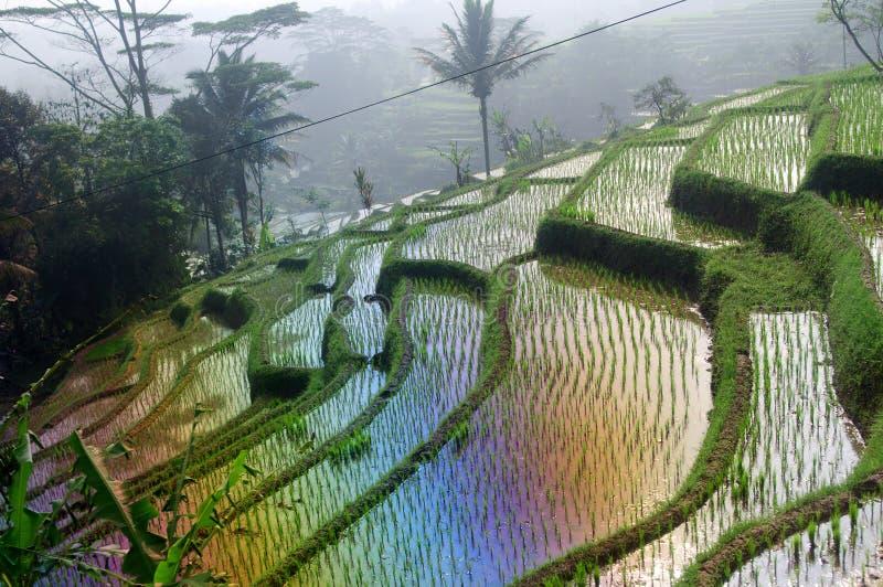 大阳台在Java,印度尼西亚的米领域 免版税图库摄影