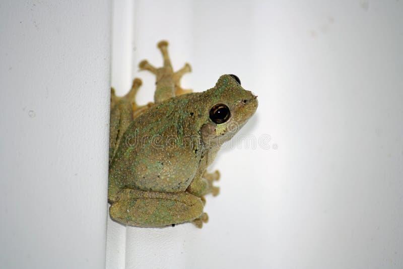 大雨蛙- Pseudacris十字花科植物 库存照片