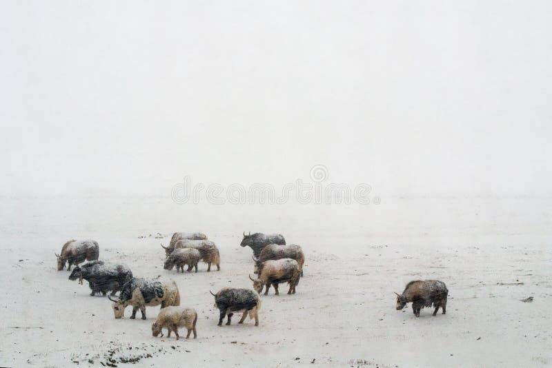 大雪牦牛在西藏 库存照片