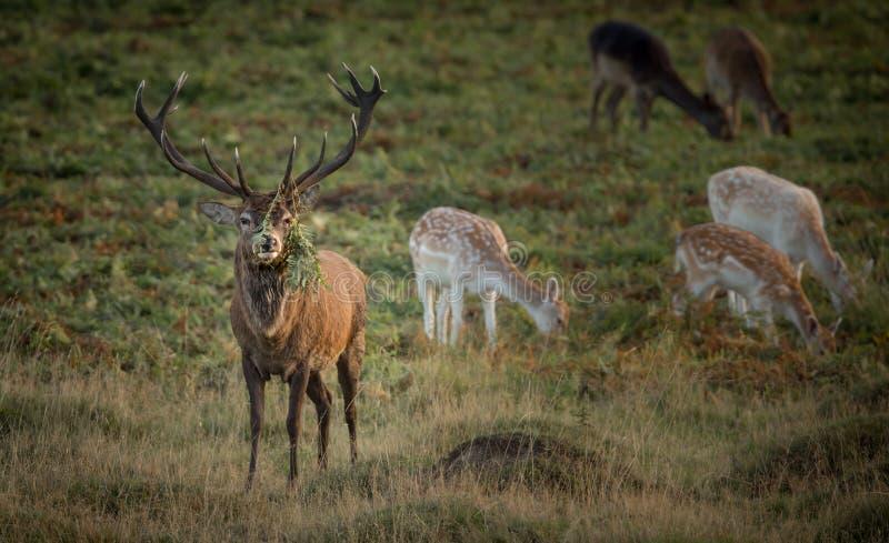 大雷德迪尔雄鹿,与在大鹿角的混杂的牧群和蕨蕨 免版税库存照片