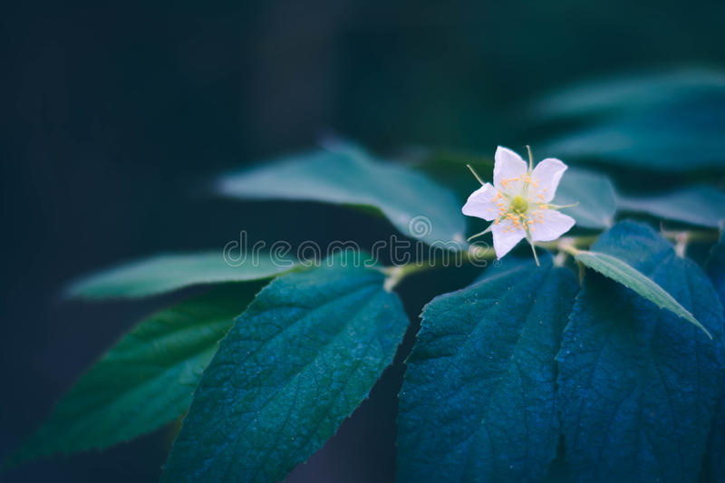 大风子科在分支,地方泰国果子的rukam树花  免版税库存照片